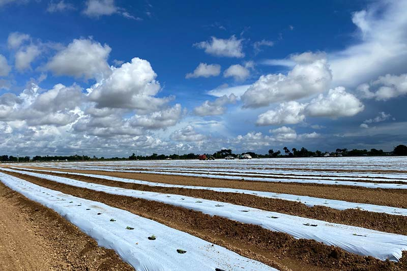 hemp cannabis plants are growing in neat rows in the field at the florida facility