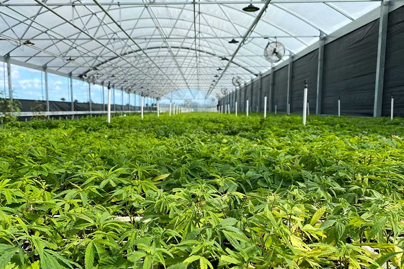 baby cannabis hemp plants fill up the entirety of a long outdoor custom greenhouse