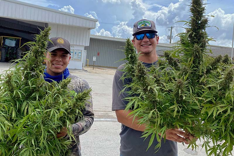 freshly harvested hemp based cannabis plants from the field