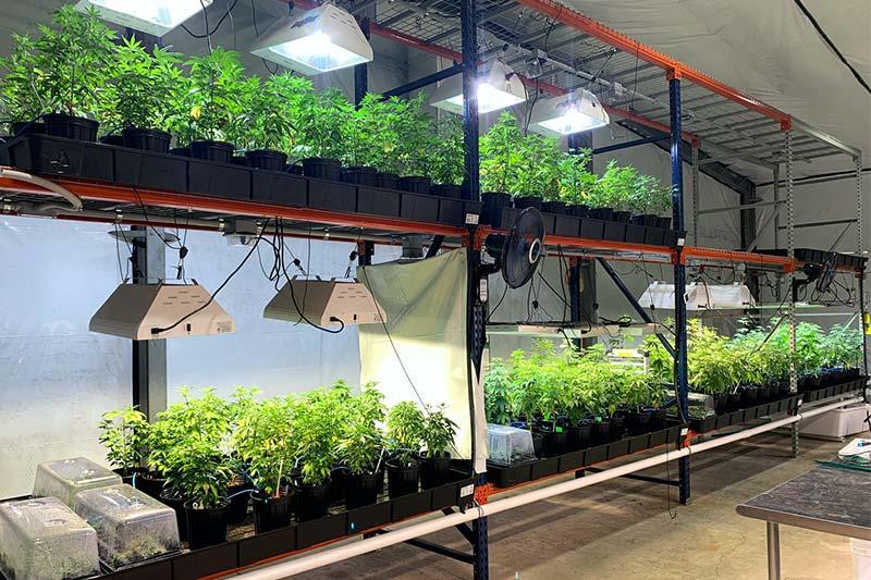 indoor grow for cannabis hemp plants
